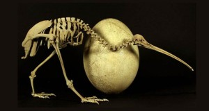 DNA links and ancestors of Kiwi and Elephant bird found!