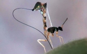 Zinc-coated tip Ovipositor to Drill Fruits used by Parasitic fig Wasp