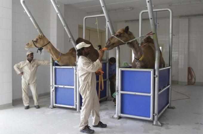 mers virus camel saudi arabia
