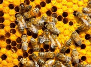 US Government introduces Pollinator Action Plan to Save Honey Bees