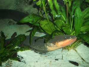 Electric eel rears its head from behind underwater plant foliage.