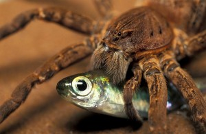 Fishing Spider Hanker For More Than Mere Flies
