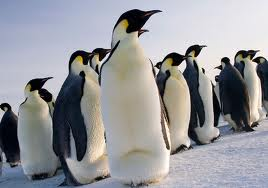 New Research Suggests Emperor penguins are more adaptable than expected