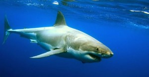 Growth In Population Remarks The Big Comeback Of Great White Sharks In US Coasts