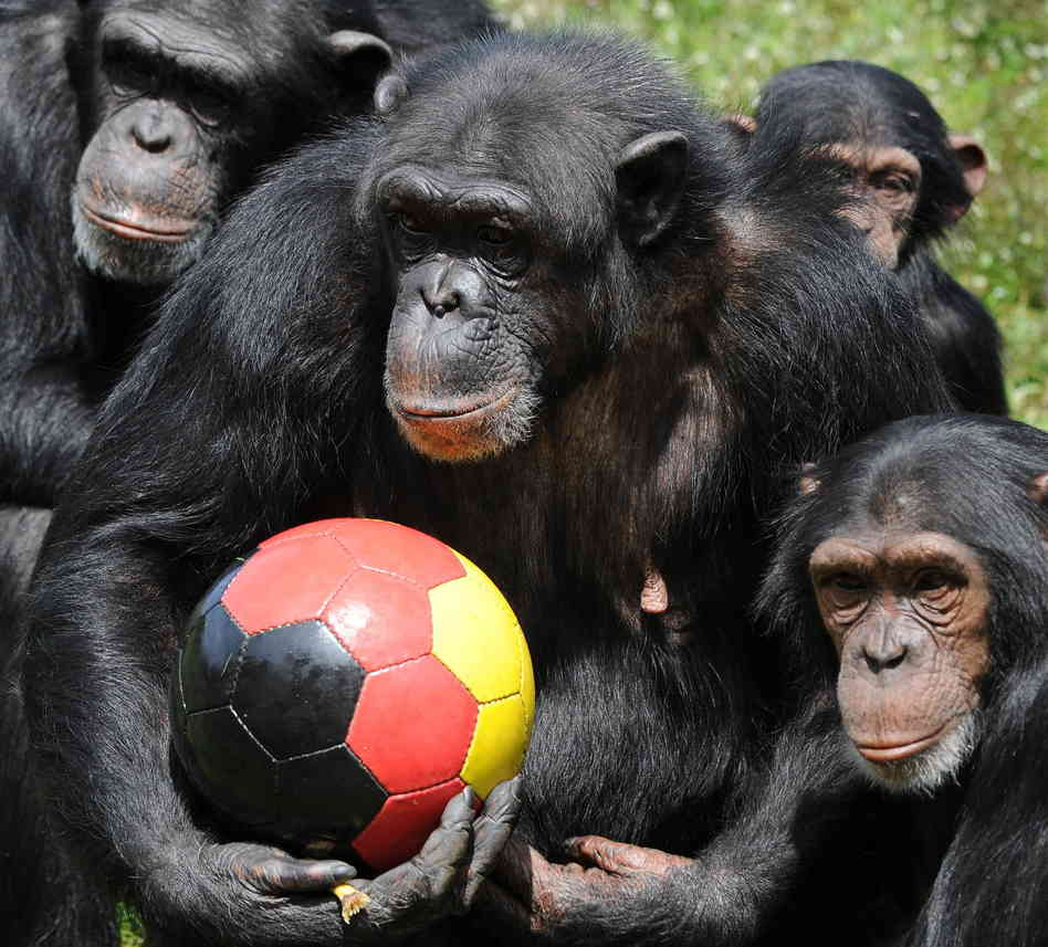 Intelligence in Chimpanzees Is Highly Dependent on Genes