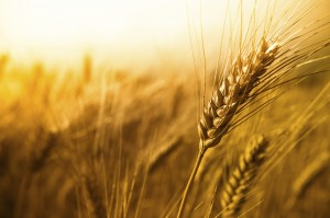 Wheat Genetic Sequence Mapping was Successful
