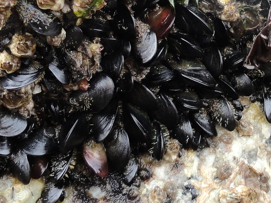 Waterproof Adhesive Inspired by Mussels
