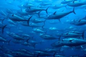 Fish Migrating Poleward as Ocean Temperatures Increase