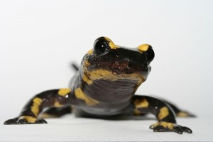Fungus Killing European Salamanders