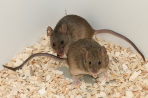 Newly Found Oxytocin Receptors Control Sex Drive in Mice