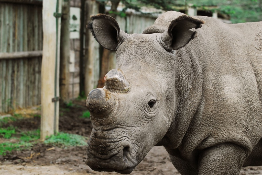 Rare Northern White Rhinoceros