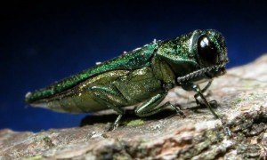 Emerald Ash Borer Likely to Invade North America