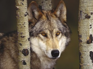 Female Gray Wolf 450 Miles Away from Her Home Found