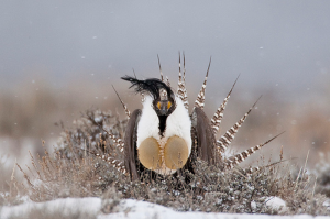 Gunnison Sage Grouse on Endangered Species List, Highly Debated
