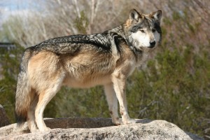 Rare Spotting of Gray Wolf in Grand Canyon