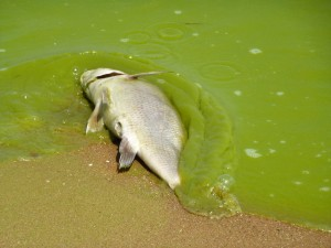 Risks and Costs of Lake Erie Algae Assessed Again by US-Canadian Agencies