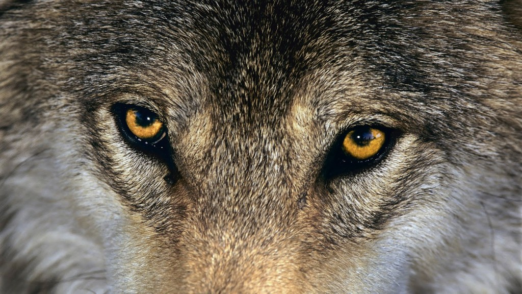 Wolves and Other Large Carnivores Thrive in Europe, New Study Shows