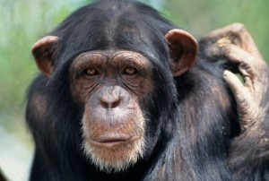 New Chimp Virus Vaccine Could Respond to Ebola