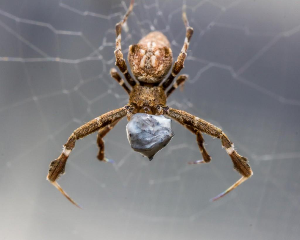 Oxford Researchers Unveil Spider's Impressive Weaving Technique