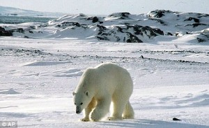 Polar Bears Are Changing Habitat To Colder Regions Due to Global Warming