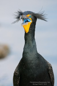 11.000 Double-Crested Cormorants Have to Be Sacrificed