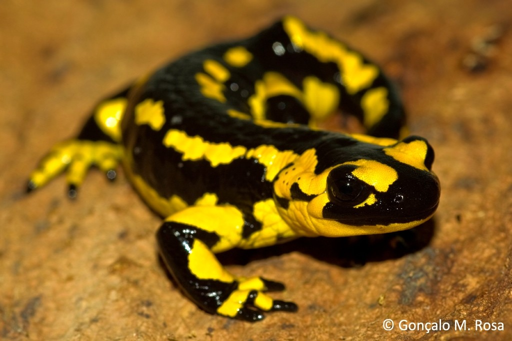 Fungus Outbreak May Kill Off US Salamanders