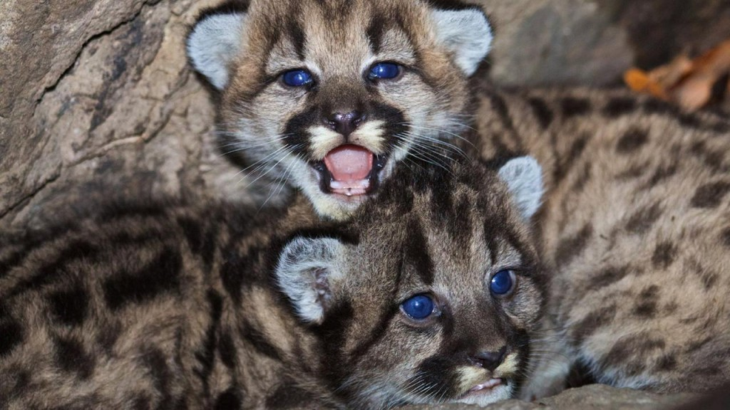 """mountain lion cubs"""