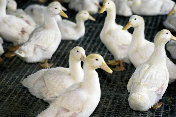 """alt=""""Maple Leaf Duck Farm in Milford. Family-owned company dominates the North American duck market, and participate in agriculture education programs such as Discovering Agriculture in Kosciusko County. Includes recipe from Maple Leaf Duck Farm of Maple-Glazed Duck Breast."""""""