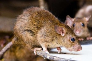 alt= rats infected with lassa virus