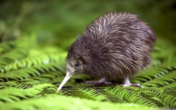 flightless Kiwi bird