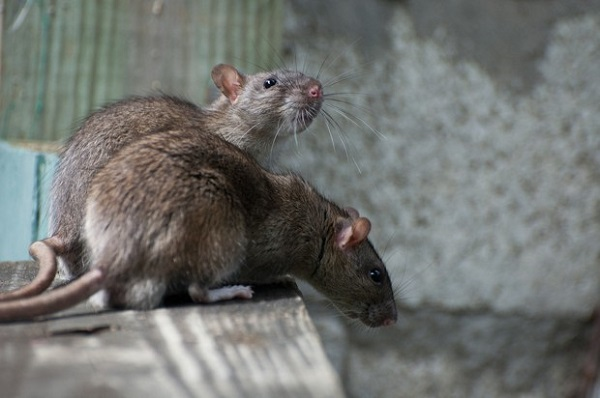 rats in New Zealand