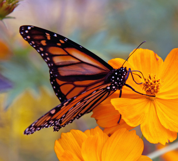 monarch butterfly populations are declining
