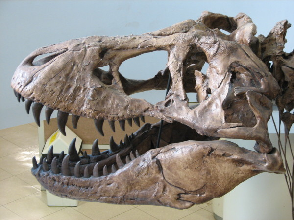 tyrannosaurus rex skull recently found in Montana