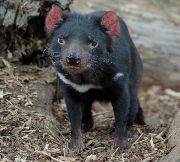 Tasmanian devils are improving tolerance and resistance to the disease