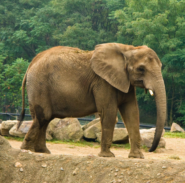 there's been a 30 percent decline in elephant population