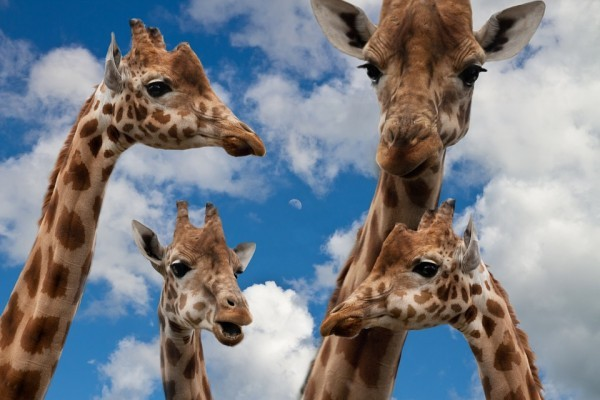 four species of giraffes exist