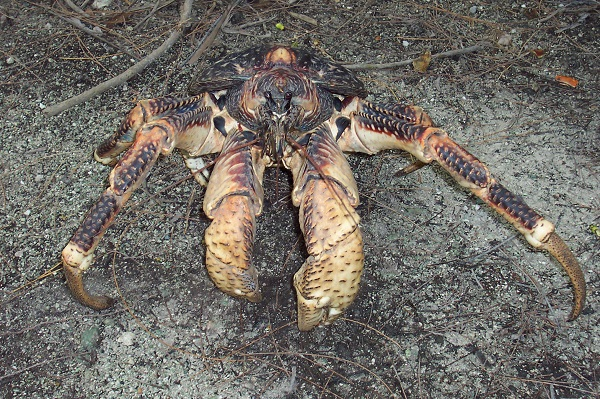 coconut crab on beach