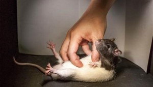 tickling rats for science