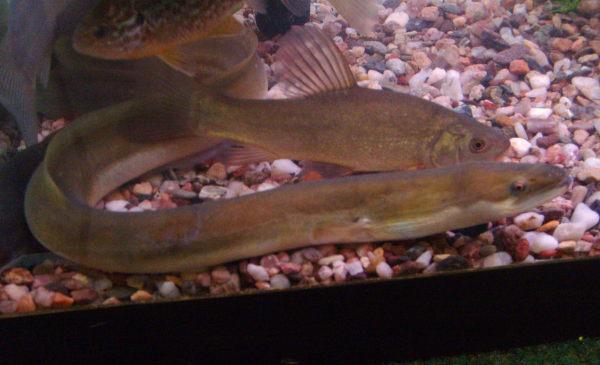 young eels