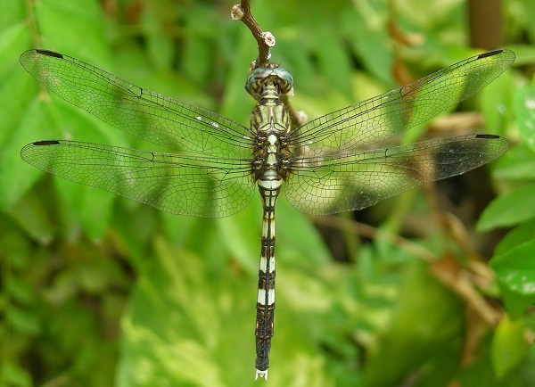 female dragonflies