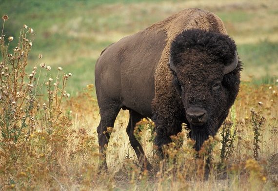 The Yellowstone Could Have Its Own Bison Quarantine Facility