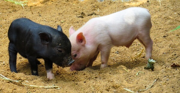 genetically modified pigs might be the future of xenotransplantation