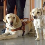 Perfect Guide Dogs Must Not Be Too Coddled, Says New Study