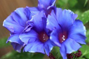 purple japanese flower