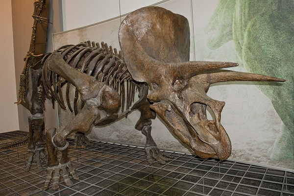 thornton triceratops skeleton on display