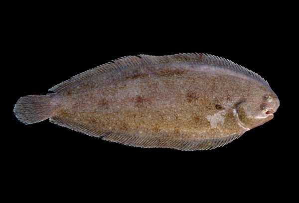 Brown dover sole on a black background