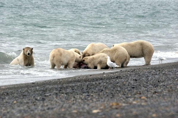 Polar bears feasting on an animal's carcass