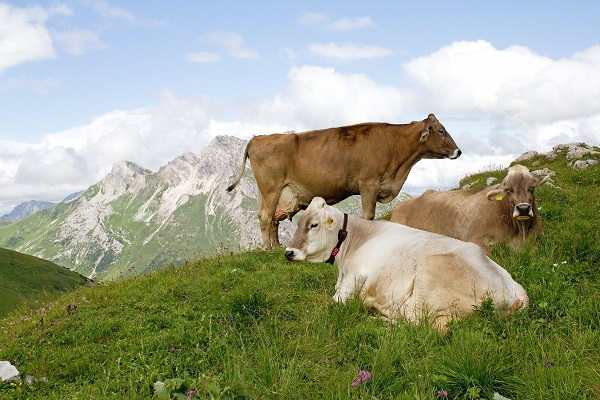 Cows resting on grass